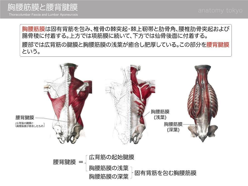 2017-a18_thoracolumbar-fascia-and-lumbar-aponeurosis.jpg