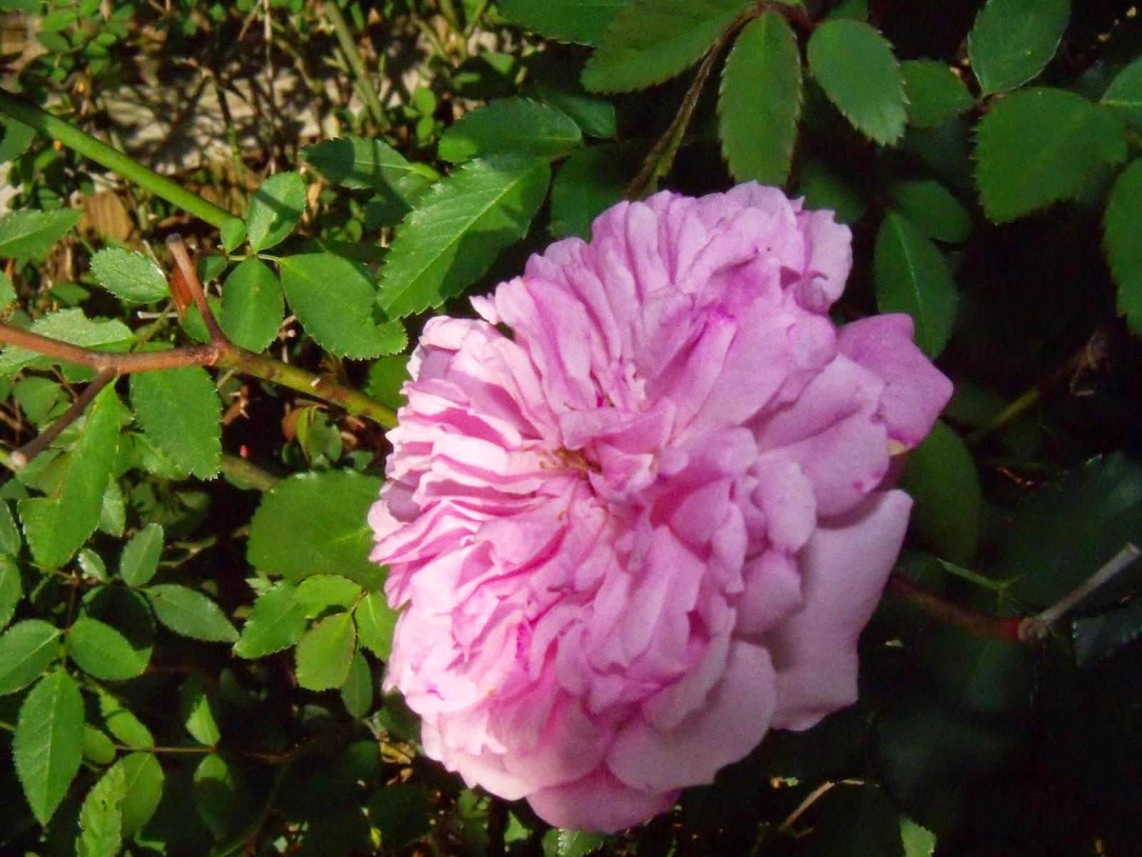 Gardening 2015 - 116_7633.JPG