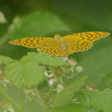 Argynnis paphia L., 1758, femelle. Les Hautes-Lisières (Rouvres, 28), 30 juin 2011. Photo : J.-M. Gayman