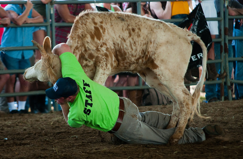 Photo: Alpha Psi member Patrick Sullivan wrestles a steer during the 2011 Alpha Psi Rodeo.