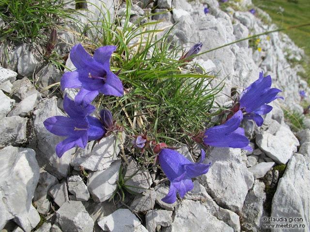 flora montana - clopotei de stanca