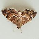 Spotted beet webworm moth
