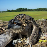 Osprey Banding - Pictures%2B046.jpg