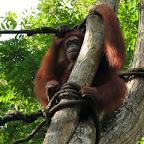 Orang Utang at Singapore Zoo