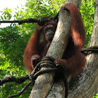 Orang Utang at Singapore Zoo