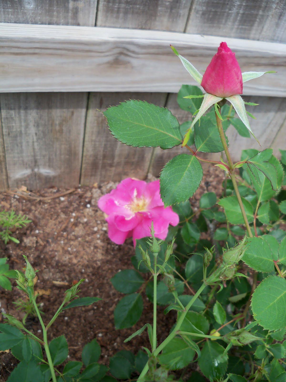 Gardening 2010 - 101_1066.JPG