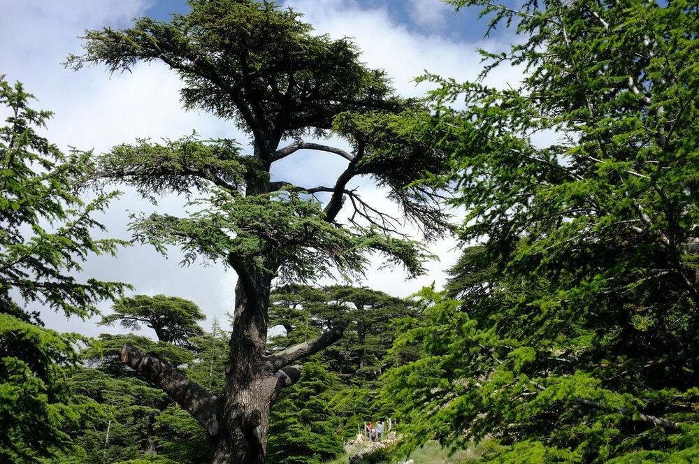 Cedars of lebanon the cedars of god Cedar credit