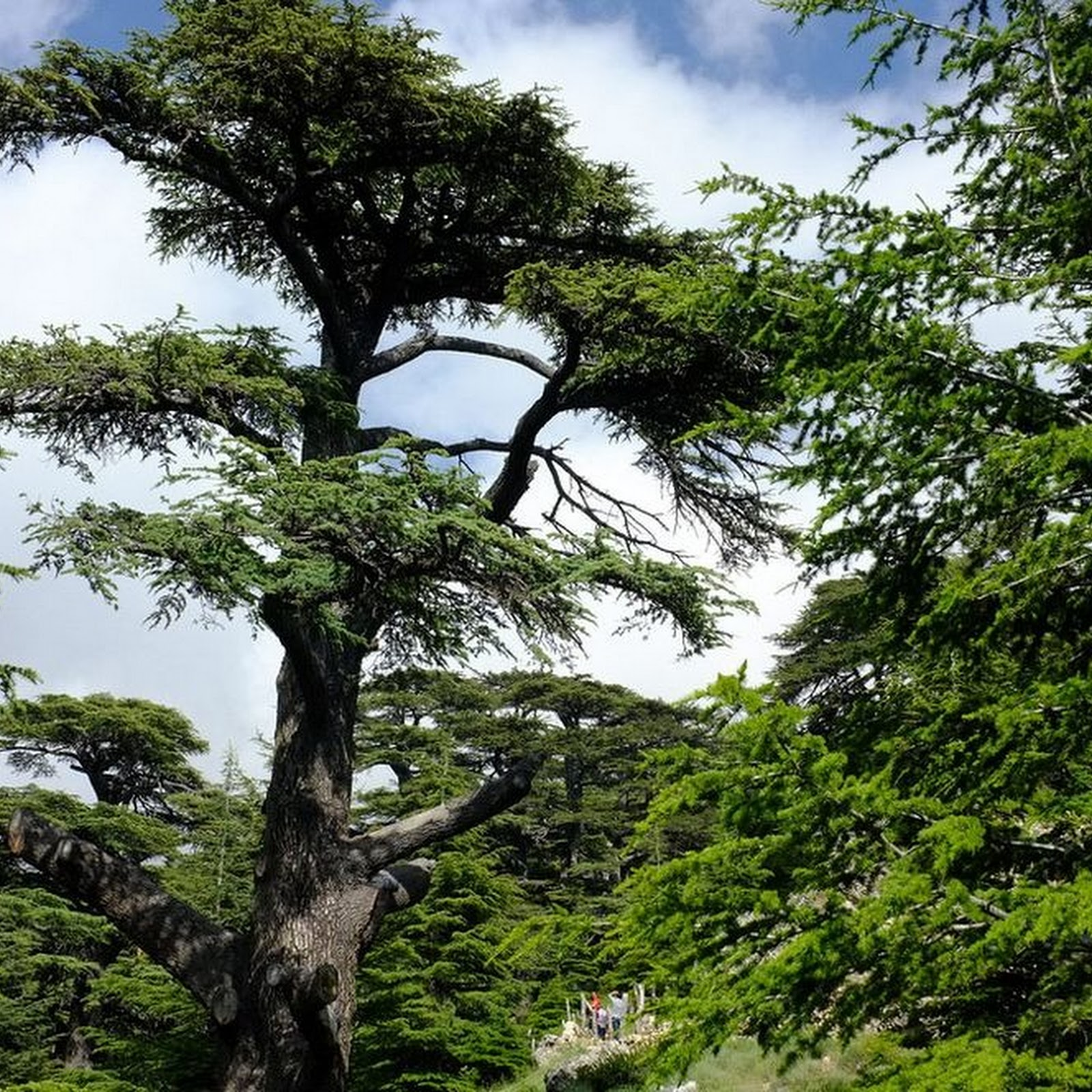 Cedars of Lebanon, The Cedars of God