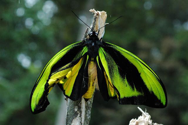 Émergence d'un mâle d'Ornithoptera goliathus samson NIEPELT, 1913. Meni, Arfak, août 2007. Photo : G. Zakine