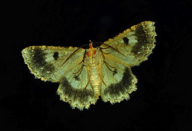 Geometridae : Ennominae : Boarmiini : Ectropis fractaria GUÉNÉE, 1857. Umina Beach (New South Wales, Australie), 3 juin 2011. Photo : Barbara Kedzierski