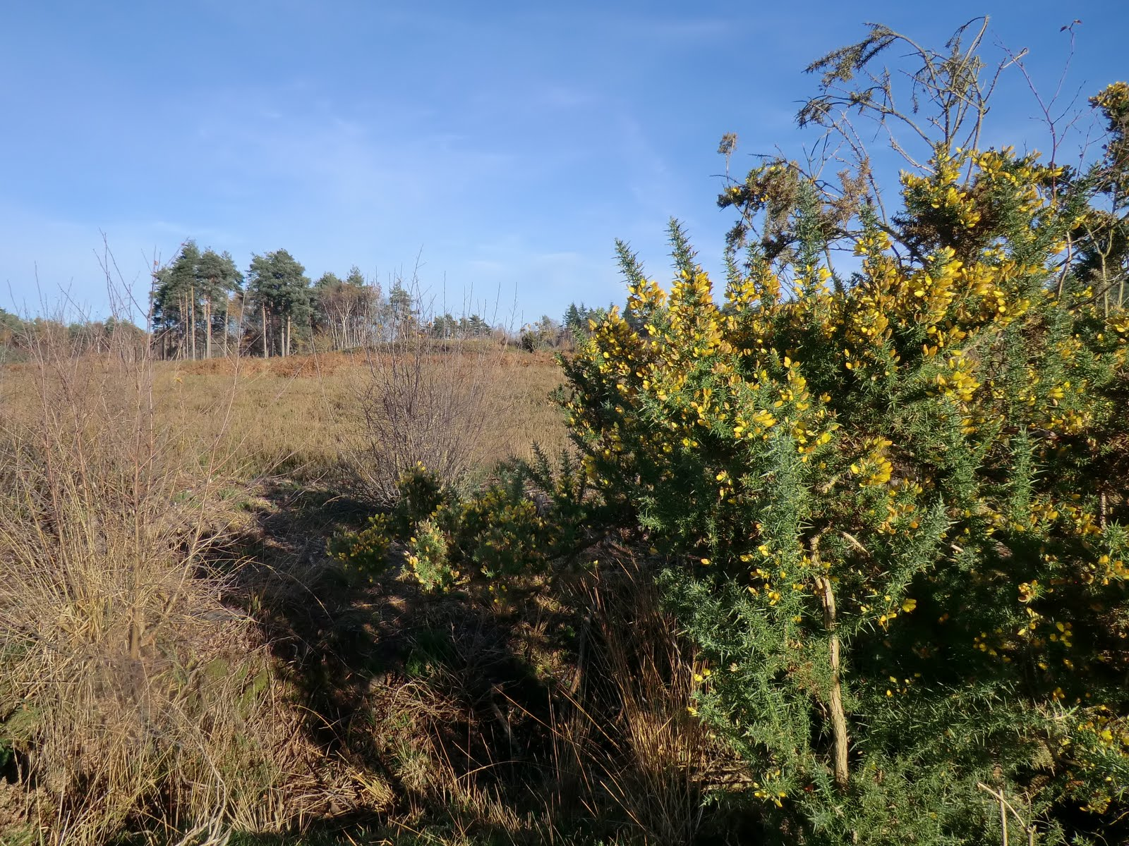 CIMG6149 Restored heathland at Broadwater Warren