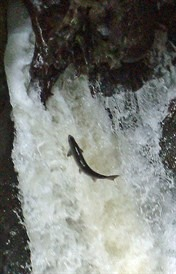 [salmon-pitlochry-falls_176x2742]