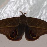 Hemileucinae : Leucanella hosmera (Schaus, 1941), mâle. Mount Totumas, 1900 m (Chiriqui, Panamá), 20 octobre 2014. Photo : J.-M. Gayman