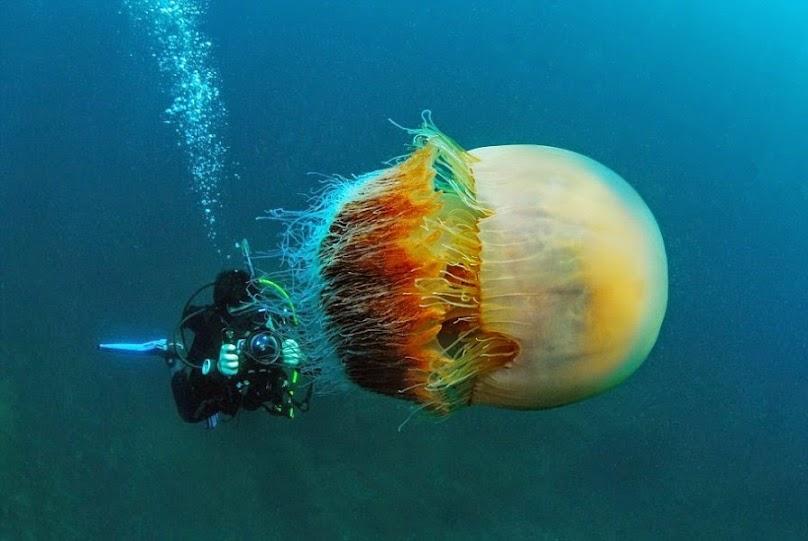 wu153  Hình ảnh loài sứa khổng lồ Nemopilema nomurai