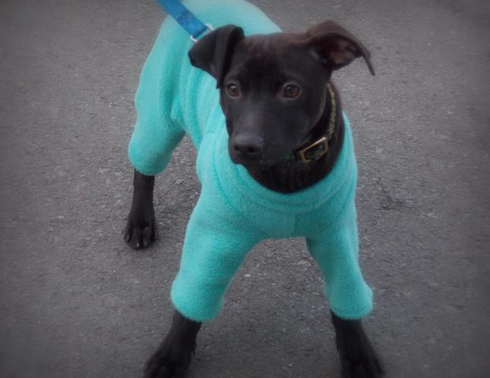 young dark brown puppy about 9 weeks old, wearing teal pajamas