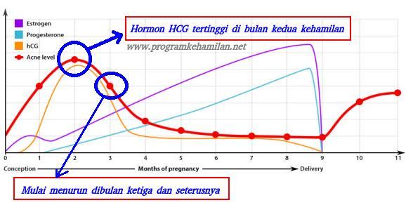 terbentuknya hormon hcg di awal kehamilan