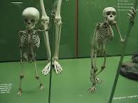 διαφορά σκελετού ανθρώπου και πιθήκου,skeleton difference in human and ape