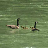 We saw some geese and their goslings