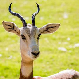 Addra Gazelle by Dave Lipchen - Animals Other Mammals ( addra gazelle )