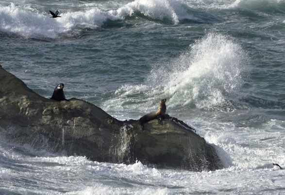 Sea Lions at King Tide1