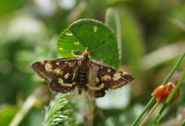 Crambidae : Pyraustinae : Pyrausta purpuralis (L., 1758), spécimen âgé. Les Hautes-Lisières (Rouvres, 28), 29 août 2012. Photo : J.-M. Gayman