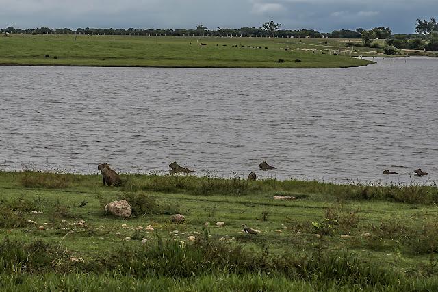 Capybaras (Hydrochoerus hydrochaeris). Laguna Tinije, 186 m (Casanare, Colombie), 5 novembre 2015. Photo :