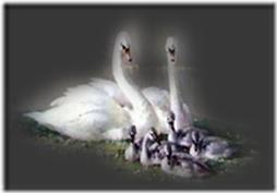 cisnes-buscoimagenes-12_thumb