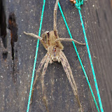 Ctenidae : Phoneutria sp. (?). Tunda Loma (Calderon, Esmeraldas), 8 décembre 2013. Photo : J.-M. Gayman