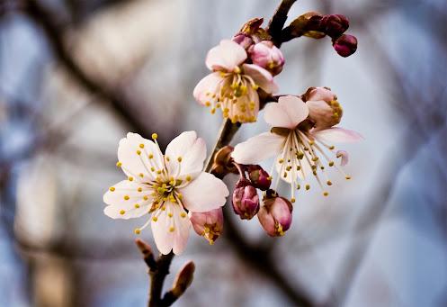 綺麗に開花した桜の花。神戸市長田区。