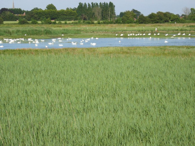 swans in fishbourne