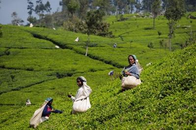 SriLanka TeaHarvest