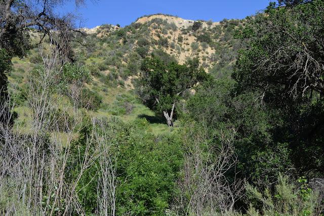 oak in a meadow