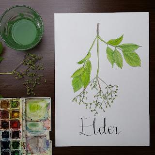 www.AliceDrawsTheLine.co.uk :: Elder in Summer