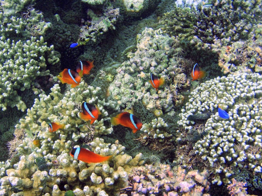 Amphiprion barberi (Fiji Tomato Clownfish), Naigani Island, Fiji.
