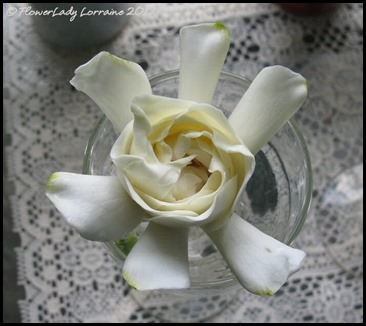 04-21-gardenia2
