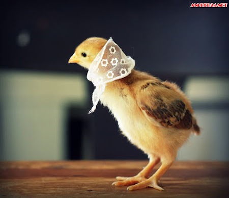 Top hình ảnh gà con ngộ nghĩnh đáng yêu nhất