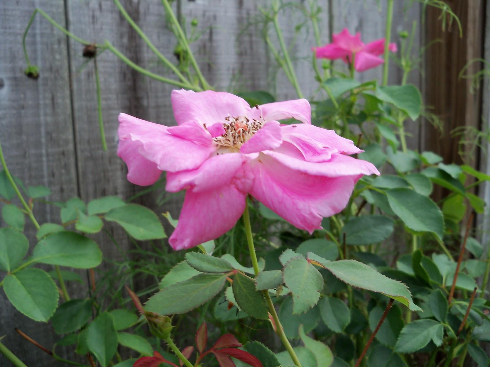 Gardening 2010, Part Three - 101_5289.JPG
