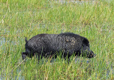 Big hefty boar walking through the wetlands.