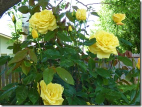 Yellow Roses outside the motorhome