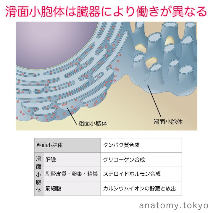 t111-19-滑面小胞体.png