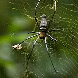 Nephila pilipes pilipes FABRICIUS, 1793. Lot n°2, Sukau (Sabah, Malaisie, Bornéo), 6 août 2011. Photo : J.-M. Gayman