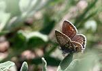 Polyommatus icarus, hun.jpg