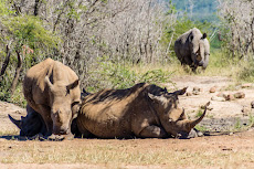 and even more rhinos