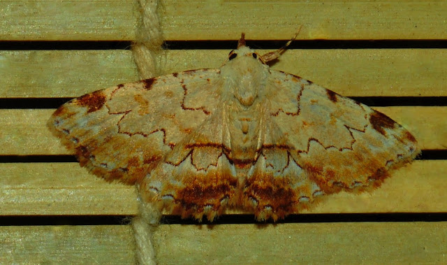 Noctuidae : Hypeninae : Sandava xylistis SWINHOE, 1900. Umina Beach (N. S. W., Australie), 15 janvier 2012. Photo : Barbara Kedzierski