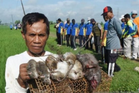 Jebakan Tikus Listrik Sebabkan Kematian, Warga Diancam 5 Tahun Penjara
