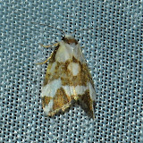 Arctiidae : Lithosiinae : Philenora aspectalella WALKER, 1864 (?). Umina Beach (N. S. W., Australie), 29 décembre 2011. Photo : Barbara Kedzierski