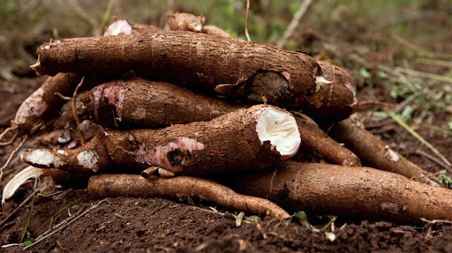 Siapa sih yang tidak kenal dengan tumbuhan yang satu ini 26 Manfaat Singkong Untuk kesehatan, Kulit dan Rambut yang Keren Banget