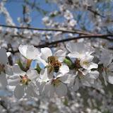 Honey Bee nectaring (Margot Hughes)