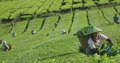 Usaha Pertanian Yang Menguntungkan Nyaris Tanpa Rugi Sukses