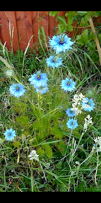 "Flowers of ""Love-in-a-Mist"""